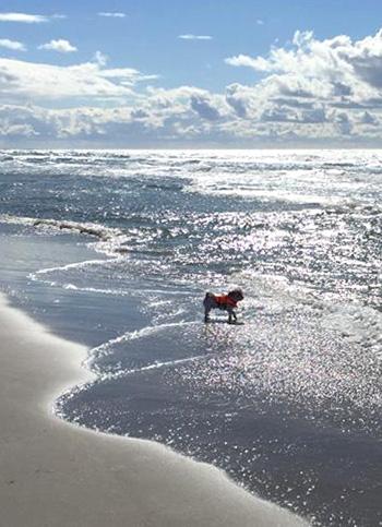 kleiner Bolonka steht mit Pfoten im Wasser und schaut aufs Meer